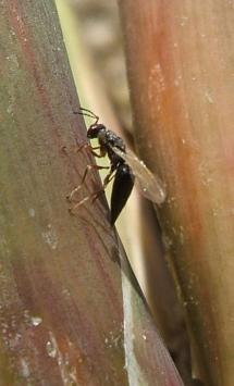 Tetramesa romana female depositing eggs in a young arundo stem