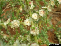 Russian thistle flowers (Forest & Kim Starr, U.S. Geological Survey, Bugwood.org)