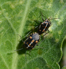 Bagrada bug mating pair on perennial pepperweed