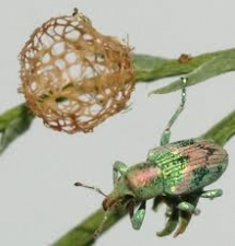 Adult and puparium of tamarisk weevil - Coniatus splendidulus
