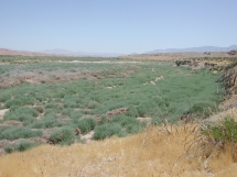Virgin floodplain dominated by Tamarix