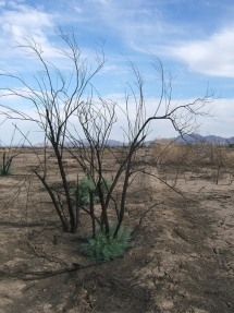 Regrowth of tamarisk in Sonoran Desert